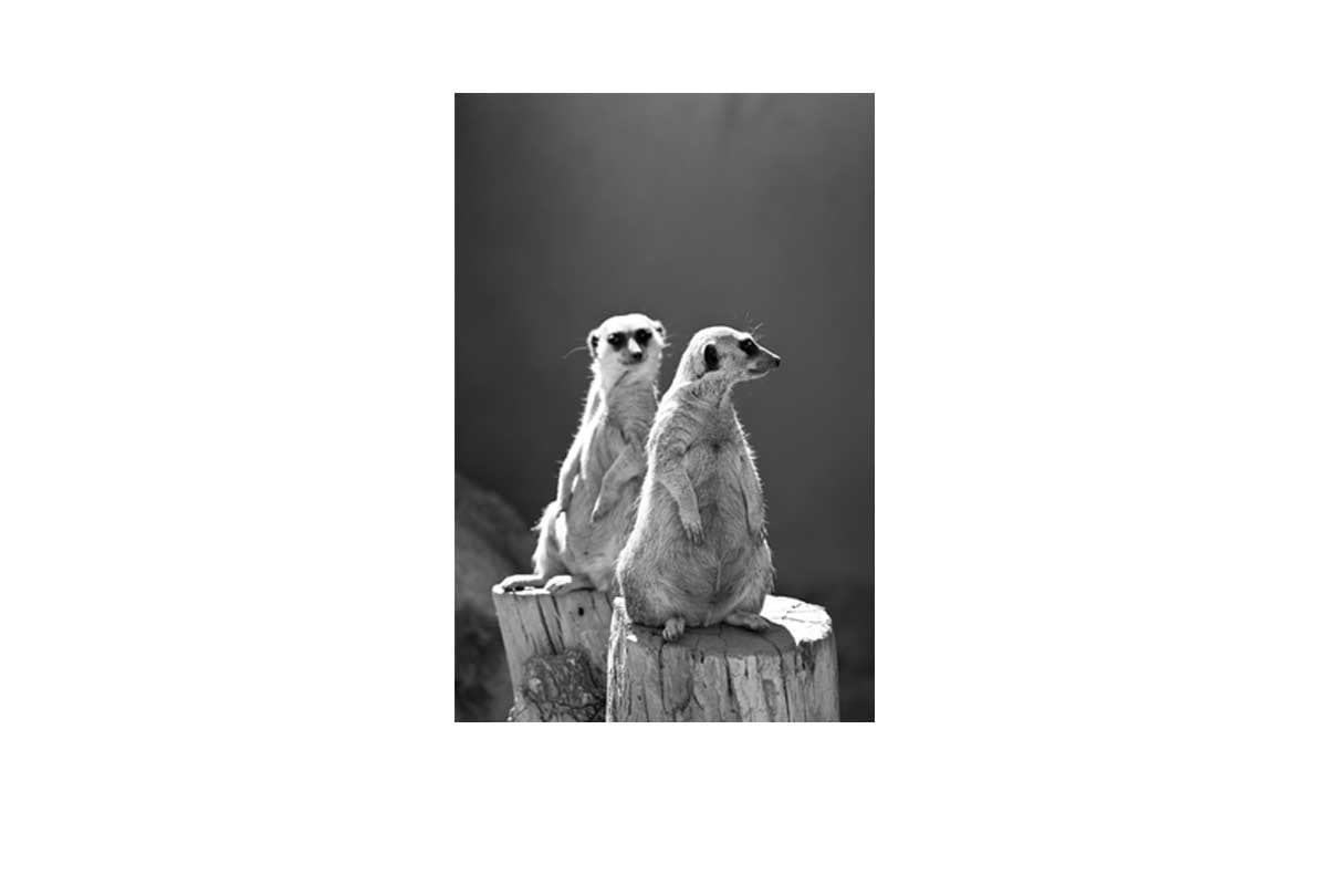 Buy Meerkats Black And White Canvas Wall Art Print